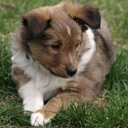 Cute puppy picture of Shetland Sheepdog on the grass.JPG