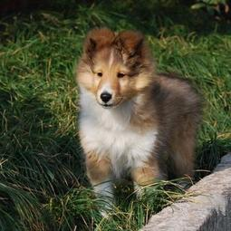 Image of Shetland Sheepdog puppy with long hair in three colors.JPG