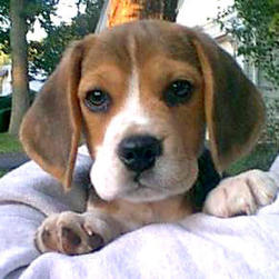 beagle pup with cute face.jpg