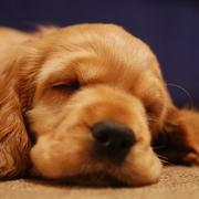 beautiful cocker spaniel sleepy face photo.JPG