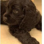 Black Cocker Spaniel Puppy with big ears.JPG