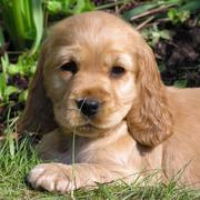 cocker spaniel dog picture in the sun.JPG
