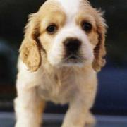 Cocker Spaniel pup in white and light tan looking very cute  yet serous.JPG