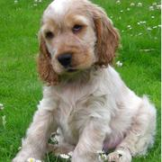 Cocker Spaniel Puppy surrounding with small white flowers.JPG