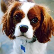 cocker-spaniel face close up picture.JPG
