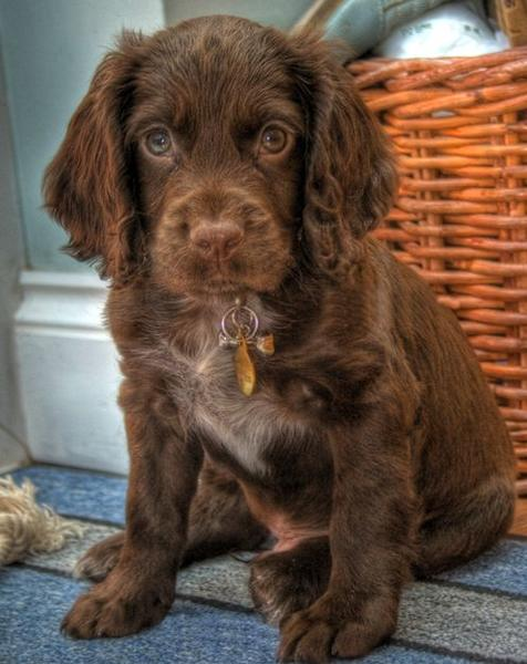 Cute and pretty brown Cocker Spaniel puppy.JPG