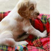 cute dog picture of Cocker Spaniel Puppy.JPG
