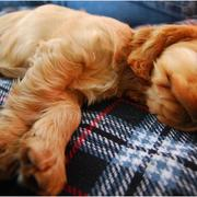 golden tan cocker spanial in deep sleep pics.JPG