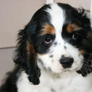 image of cocker spaniel puppy in white and black with brown patterns.JPG