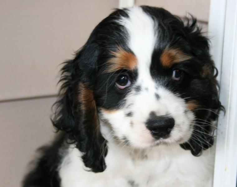 Cocker spaniel puppies black and white and brown