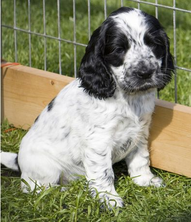 picture of Cocker Spaniel Puppy in white with black dots ...