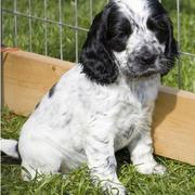 picture of Cocker Spaniel Puppy in white with black dots.JPG
