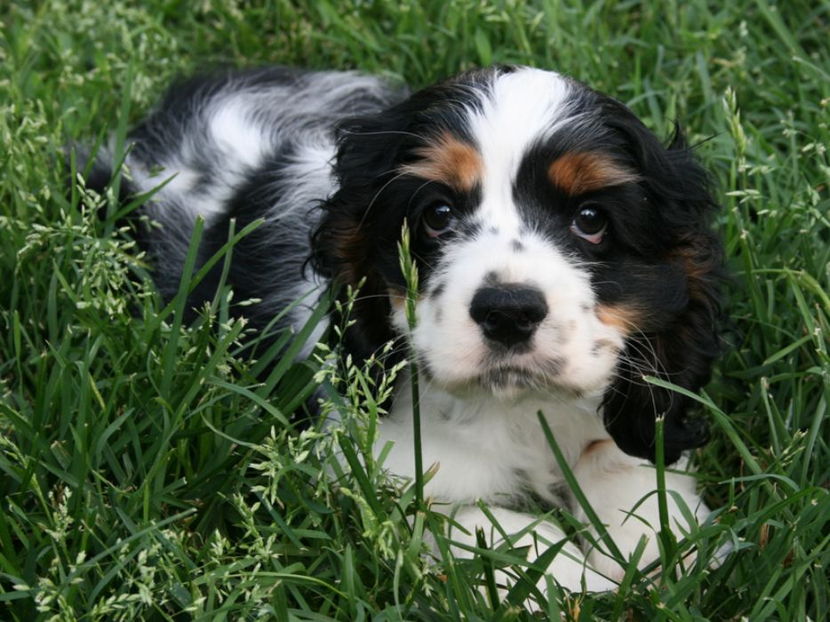 picture of cockerspaniel pup in white and black with brown pattern laying on the grass.JPG