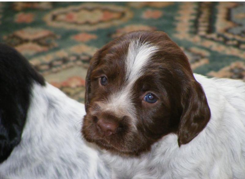 puppy Cocker Spaniel.JPG