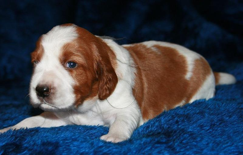 serious looking Cocker Spaniel pup.JPG