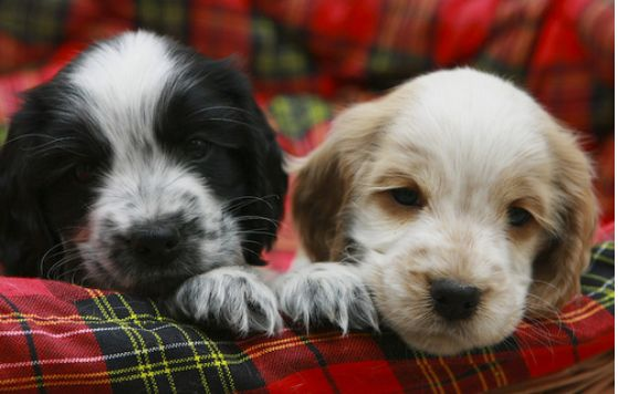two cute Cocker Spaniel Puppy faces picture.JPG