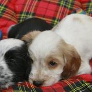 very young Cocker Spaniel Puppies sleeping next to each together.JPG