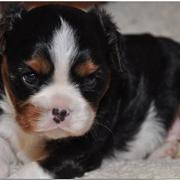 very young cockerspaniel puppy photo.JPG
