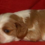 young cute and sweet puppy cocker spaniel dog in tan and white.JPG