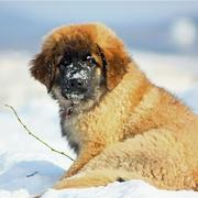 Newfoundland Puppies Pictures