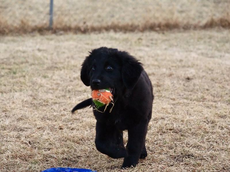 Black newfoundland puppy playing.JPG