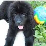 Black Newfoundlander puppy picture.JPG