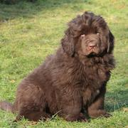 Brown Newfoundlander puppy pix.JPG