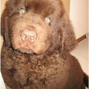 Cute looking brown newfoundland puppy looking at the camera.JPG