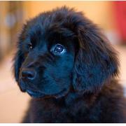 Cute newfoundland puppy face in pure black.JPG