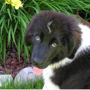 Image of newfoundland pup in black and white.JPG