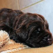 Images of dark brown Newfoundland puppy in deep sleep.JPG