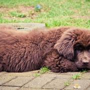 Images of newfoundland puppy in brown.JPG