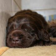 Newborn Newfoundland puppy in deep sleep.JPG