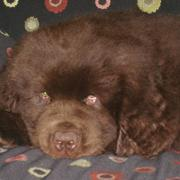 newfoundland pup photos.JPG