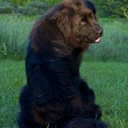 newfoundland pup picture.JPG