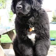 Newfoundland puppy photos.JPG