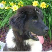 Newfoundland puppy picture.JPG