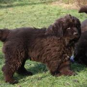 Newfoundlander puppies.JPG