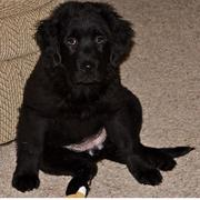 newfoundlander puppy in pure black.JPG