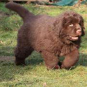 Newfoundlander puppy photo.JPG