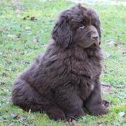 Newfoundlander puppy_so cute looking pup.JPG