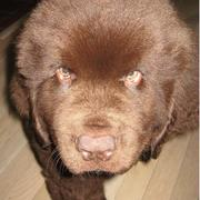 Newfoundlander puppy_this dog looks like a brown bear_cut yet kinder scary looking.JPG
