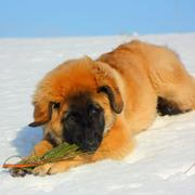 Newfoundlands puppy in golden tan with black nose.JPG