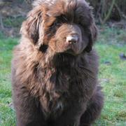 photo of brown Newfoundlander puppy.JPG