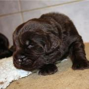 Photo of Newfoundland puppy in dark brown.JPG