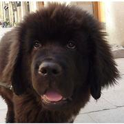 photo of young brown Newfoundlander pup.JPG