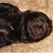 Photos of newfoundland puppy in deep sleep looking very cute and funny.JPG