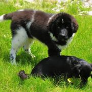 Picture of newfoundlander pup playing with its friend.JPG