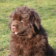 picture of Newfoundlander puppy.JPG