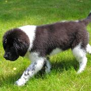 Pictures of newfoundland puppy in blakc and white.JPG